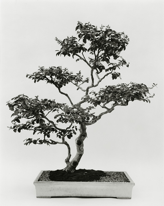 Crape Myrtle, B81-0008-06, 8x10 Gelatin Silver Chloride Contact Print