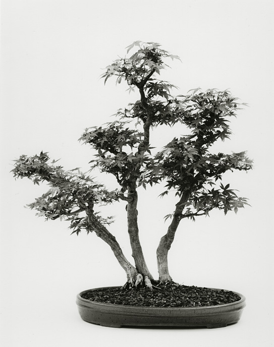 Japanese Maple, B81-0105-05, 8x10 Gelatin Silver Chloride Contact Print